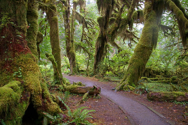 Bosque                          800px-forks_wa_hoh_national_forest_trail